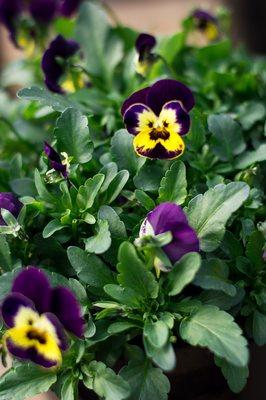 Bell Herbs Pansies